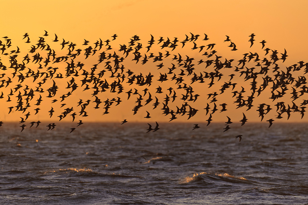 Flock of red knot (Calidris canutus) in flight at high water roost on the Wash estuary at Snettisham RSPB reserve in Norfolk. March 2012. Evening light.
