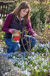 Feeding a rose in a border with fertiliser in spring