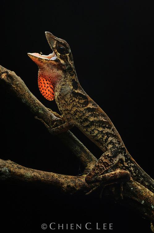 A male anole (Anolis planiceps) displaying his dewlap. Bolivar, Venezuela.