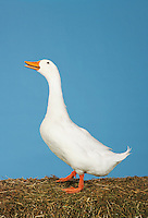 Side view of goose against blue background