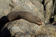 A New Zealand fur seal relaxes at Red Rocks near Wellington, New Zealand