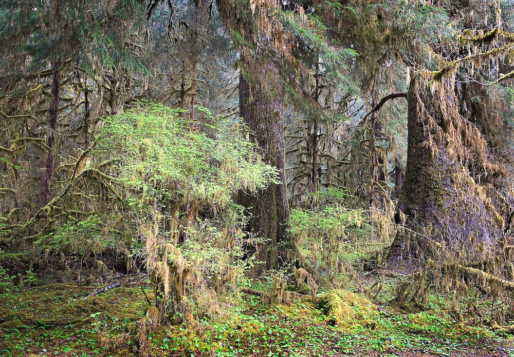 Hoh Rainforest Portrait, Hoh Rainforest, Olympic National Park, Washington State