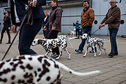 Dalmatian dogs at the World Dog exhibition on the Leipzig Trade Fair. Over 31,000 dogs from 73 nations will come together from 8-12 November 2017 in Leipzig for the biggest dog show in the world.