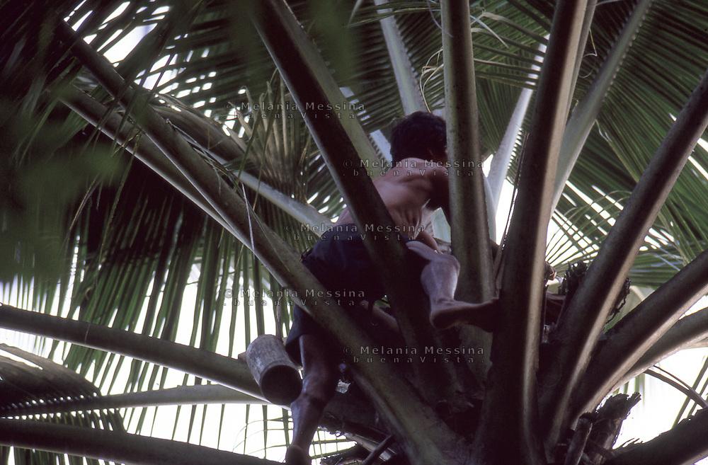 Indonesia, Java Island: coconut bin climbs the palm tree.<br /> Indonesia, isola di Giava, raccoglitore di cocchi si arrampica sulla palma.