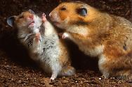 Deutschland, DEU, Cuxhaven: Ein junger männlicher Goldhamster (Mesocricetus auratus) zur Linken bei der Abwehr eines älteren draufgängerischen Männchens. | Germany, DEU, Cuxhaven: Golden Hamster (Mesocricetus auratus), young male on the left discouraging older pushy male. |