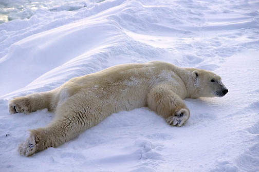 Polar Bear, (Ursus maritimus) Rollling in snow to dry off from swim in Churchill, Manitoba. Canada.