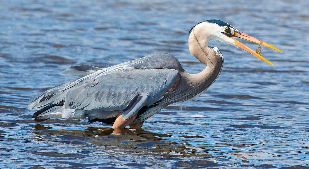 A great blue heron catches some lunch in Yellowstone National Park.