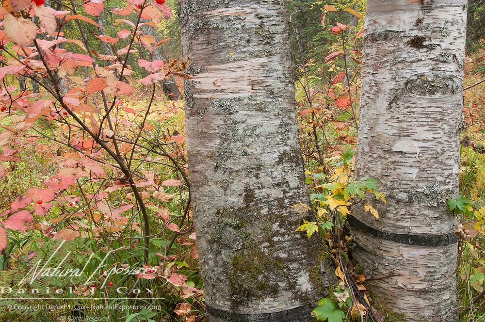 Birch trees in Denali National Park, Alaska.