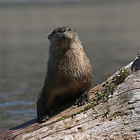 River otter at Cliff Lake, Montana
