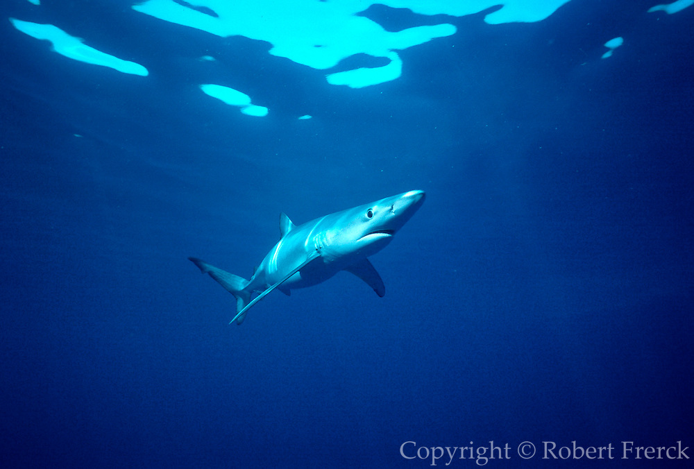 UNDERWATER MARINE LIFE EAST PACIFIC, off Santa Barbara, California SHARKS: Blue shark Prionace glauca