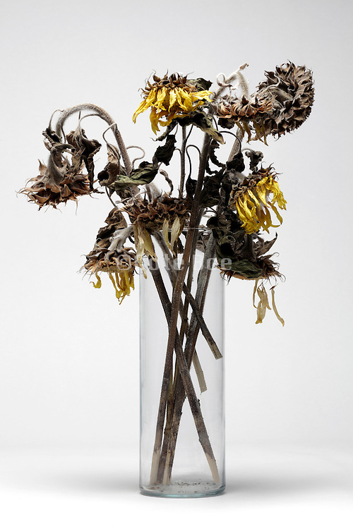 dried up dead sunflowers in a vase