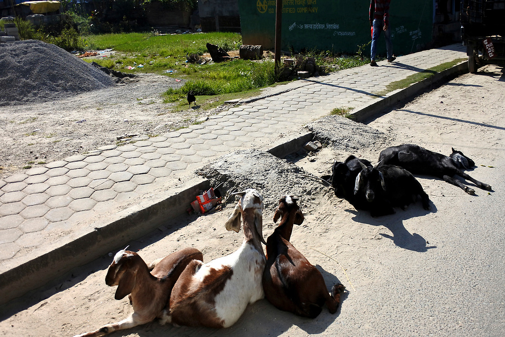 Goats lying on the road