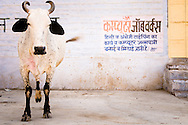 India, Jodhpur. A cow posing with a blue wall in the background and pretending to have three legs only.