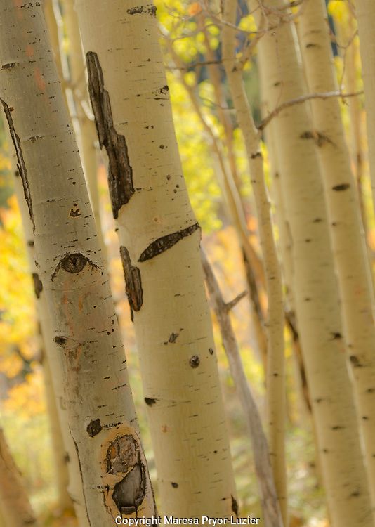 Quaking aspen in full color showing chewing marks from elk and other wildlife, Populus tremuloides, New Mexico Rocky mountains