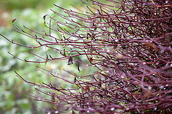 Water droplets hanging from the stems of Cornus alternifolia 'Argentea' AGM syn. Cornus alternifolia 'Variegata' in winter - Silver pagoda dogwood.