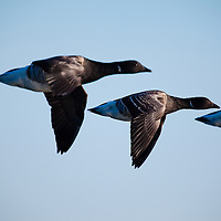 "The American Brant (Branta bernicla) in flight at Barnegat Inlet.  The brant is a  water bird that resembles small, short-necked forms of the Canada goose but is much darker and, though black-necked and black-headed, lacks white cheeks; instead it has a more or less extensive narrow white neck ring and is ""bibbed"" like the barnacle goose. It breeds in the Arctic and winters southward into Eurasia and North America."
