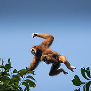 The lar gibbon (Hylobates lar), also known as the white-handed gibbon, is an endangered primate in the gibbon family, Hylobatidae. Seen here jumping between trees in the forest with a baby gibbon attached.