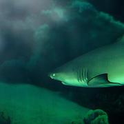 Sandbar Shark