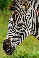 Head of zebra foal, South Africa.<br />