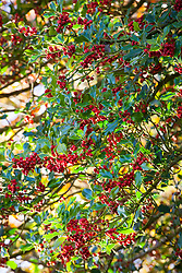 Holly berries. Ilex aquifolium