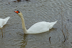 Emiquon Nature Preserve and Wildlife Refuge - Mute Swan (Cygnus olor) swimming in lake water on a mostly cloudy day in central Illinois