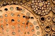 Red mason bee (Osmia rufa), Kiel, Germany | Rote Mauerbiene (Osmia rufa), Mauer-Biene, am Loch in einer Wildbienen - Nisthilfe, Osmia rufa, Osmia bicornis, Kiel, Deutschland