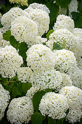 Hydrangea arborescens 'Incrediball' syn. Hydrangea arborescens 'Strong Annabelle'
