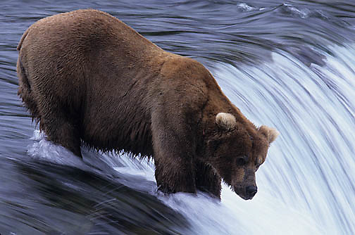 Alaskan brown bear, (Ursus middendorffi) fishing for salmon at Brooks Falls on the Brooks River, Alaska.