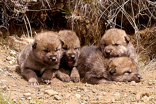 Gray Wolf, (Canis lupus) Pups. Spring. Montana.  Captive Animal.