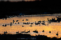 Canada Geese (Branta canadensis) silhouetted at dawn at The Weaselhead Natural Area, Calgary, Alberta, Canada