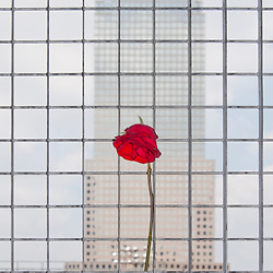Site of the former World Trade Center and now 9-11 memorial with single red rose intertwined with the perimeter fence, New York City, NY