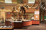 A fiberglass replica of a Mastodon skeleton in a museum