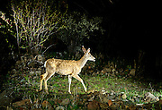 A mule deer walks a road at night in Camp Creek Canyon, on The Nature Conservancy's Zumwalt Prairie Perserve.