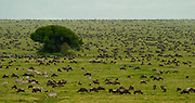 Wildebeest and zebras in the Serengeti Plains during migration. Serengeti National Park, Tanzania.  population of 2 million animals in migration may be decimated by proposed highway and railroad.