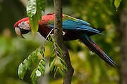 Red & Green Macaw (Ara chloroptera)<br /> Cocaya River. Eastern Amazon Rain Forest. Border of PERU &ECUADOR. South America