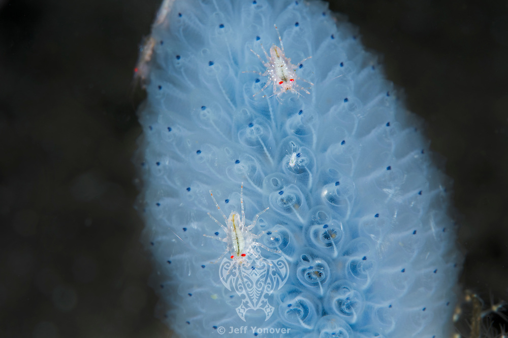 Tiny ( < 1 cm) Amphipods perched on a Colonial Tunicate<br /> <br /> Shot in Indonesia