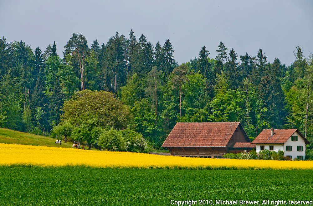 An idyllic, rural, Swiss countryside scene with a yellow field of rape, traditional house and barn, and a cow grazing under a tree in the background.  Taken near Lenzburg, Aargau, Switzerland.