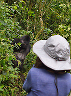 Gorillas seen only 22 feet away during gorilla trekking in Uganda's Bwindi  Impenetrable Forest, one of Africa's rare, remaining gorilla habitats, and a UNESCO World Heritage Site.
