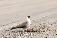 Long-tailed Jaeger (Stercorarius longicaudus) feeding on an Arctic Ground Squirrel on the park road in Denali National Park in Interior Alaska. Summer. Afternoon.
