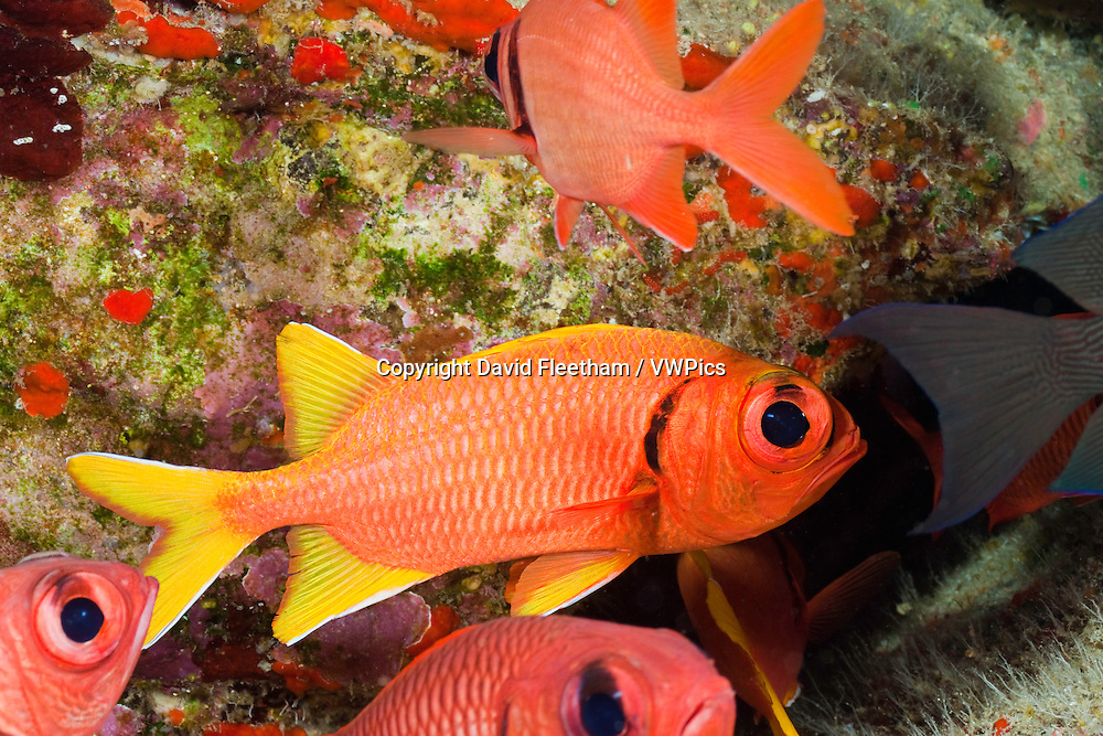 The yellowfin soldierfish, Myripristis chryseres, is found in deep water around Hawaii.
