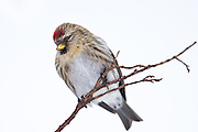 Common Redpoll on a branch | Gråsisik på en gren.