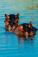 Three hippos peering above the water in a pond near Kwara Camp, Okavango Delta, Botswana.