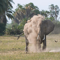 An elephant spraying itself with dust in Amboseli National Park, Kenya. Dust offers some level of protection against sun and insects.