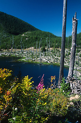 Fireweed (Epilobium angustifolium) at Ryan Lake, Mt. St. Helens National Volcanic Monument, Washington, US