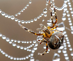October 10, 2018 - Roseburg, Oregon, U.S - A spider hangs on its dew drop encrusted web in a pasture on a hillside near Roseburg in rural western Oregon. (Credit Image: © Robin Loznak/ZUMA Wire)