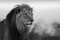 Kalahari lion ( Panthera leo ) at first light with breath shimmering on a cold foggy morning, Kalahari Desert, South Africa,