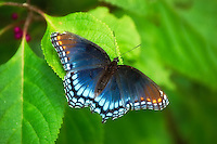 Red Spotted Purple seen in Madison County, Florida. It was chased up an old Indian Mound (Letchworth Mound) and somehow managed to be photographed by an out-of-breath photographer!