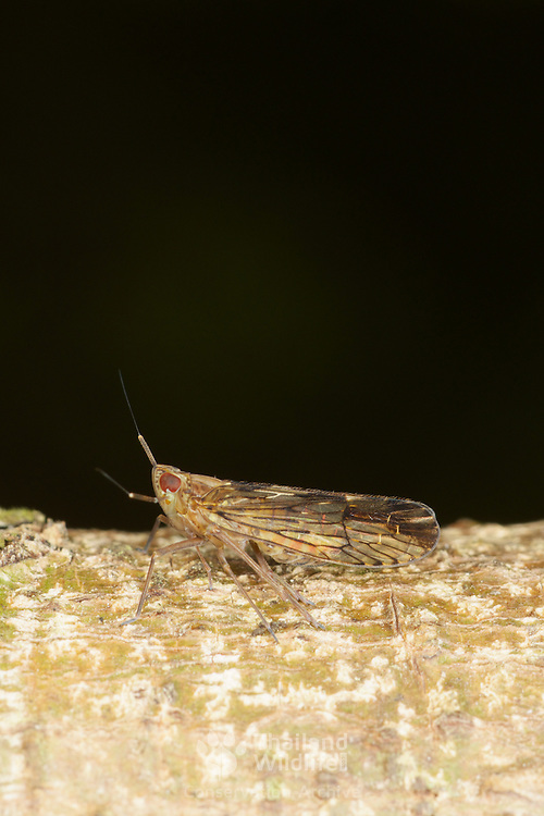 Delphacid Planthopper - Fulgoroidea. Khao Yai National Park, Thailand.