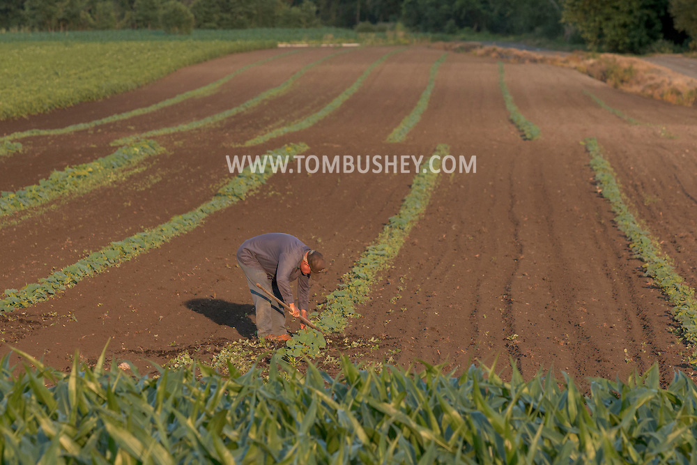 Wawayanda, New York - Farmer Edward Gantz weeds pumpkins plants in a field at Gantz Farm Services on June 30, 2016.