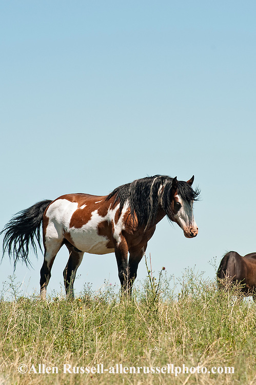 Medicine Hat stallion, Blackfeet Indian Reservation, Montana, sacred to Native Americans
